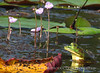 Pig frog and purple bladderwort, ONWR (2)