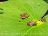 Cricket frog on lily pad, ONWR (7)