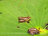 Cricket frog on lily pad, ONWR (6)