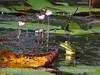 Pig frog and purple bladderwort, ONWR (3)