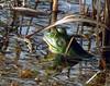 Bullfrog, SID, Okefenokee NWR GA (2)
