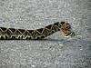 Eastern diamondback rattlesnake, ONWR (8)