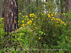 Helianthus spp sunflower in longleaf pine, ONWR (7)