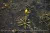 Yellow bladderwort at boardwalk, ONWR (2)