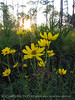 Swamp Sunflower and longleaf pines, ONWR (20)