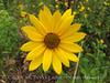 Helianthus spp sunflower in longleaf pine, ONWR (13)