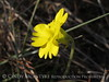Yellow butterwort, Pinguicula lutea, ONWR (10)