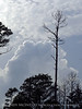Storm cloud and longleaf pines, ONWR (3)