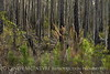 Broom sedge and burned trees, ONWR (2)