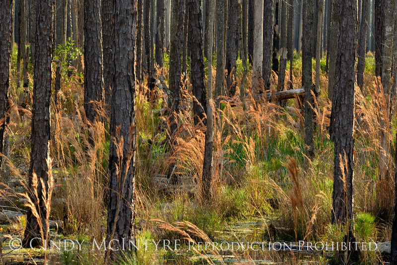 Broom sedge and burned trees, ONWR (5)