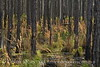 Broom sedge and burned trees, ONWR (4)