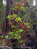 Loblolly bay and cypress, ONWR