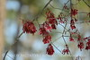 Red maple seeds, ONWR (1)