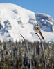 "Gray Jay (i.e. ""Camp-robber"") on ski.  Here is the trick to getting this shot:  Put ski in snow and wait 5 minutes."