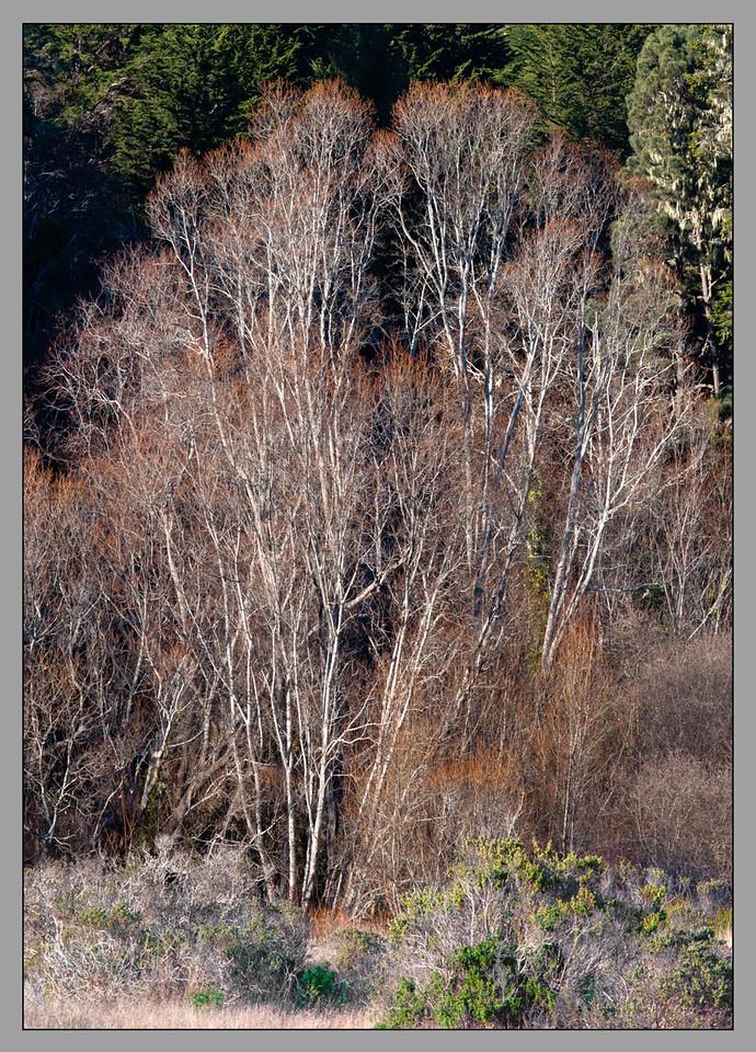 Alders in Fall