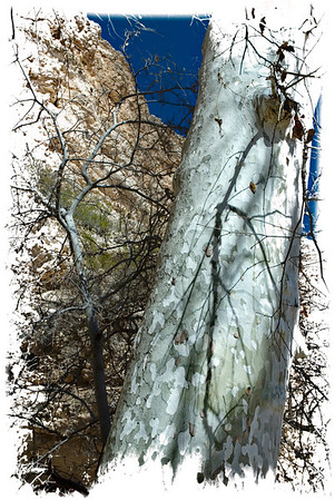 Arizona Sycamore 2