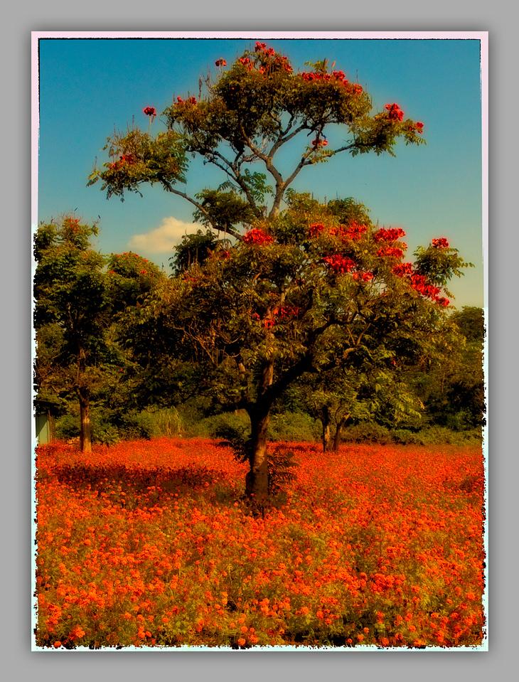 Hagenia Abyssinica Postcard