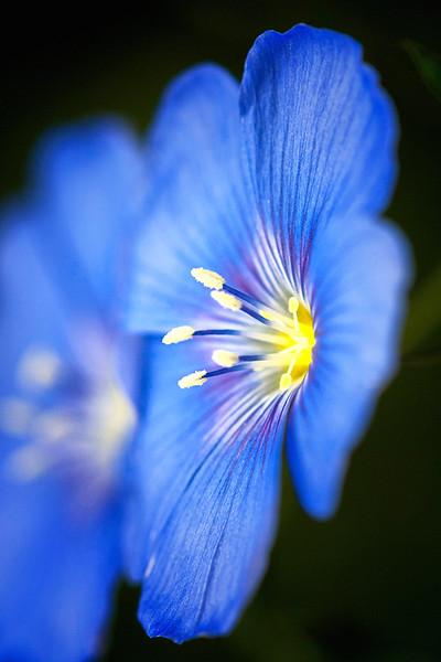 Wild Blue Flax
