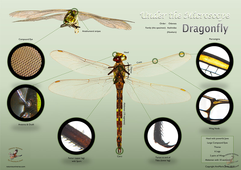 Dragonfly - Under the Microscope