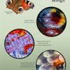 Butterfly Wings - Under the Microscope