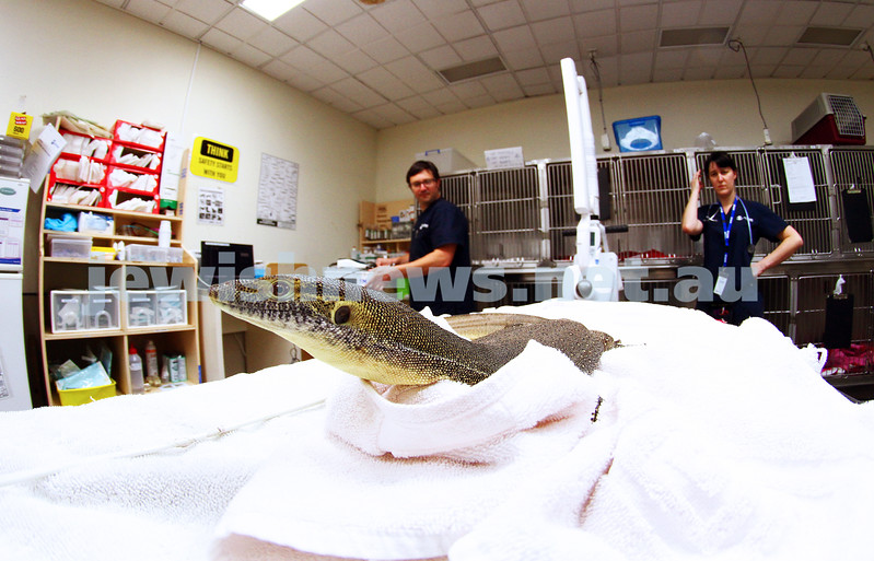 11-2-15. Lort Smith Animal Hospital. Dr Tristan Rich getting ready to x-ray a water monitor lizard. Photo: Peter Haskin