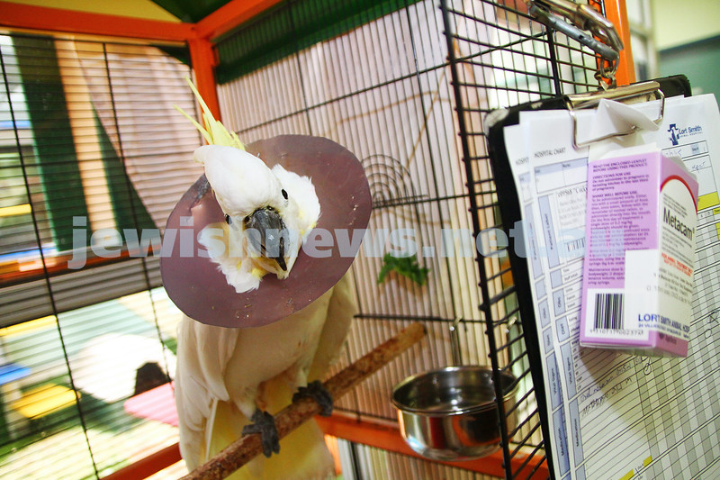 """11-2-15. Lort Smith Animal Hospital. """"Cocky"""" the cockatoo recovering from surgery.  Photo: Peter Haskin"""