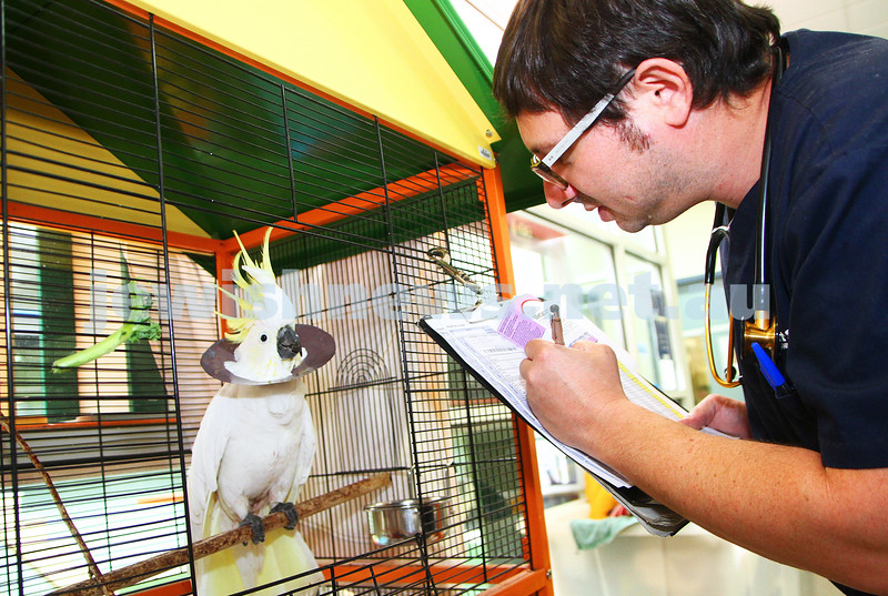 """11-2-15. Lort Smith Animal Hospital. Dr Tristan Rick checking """"Cocky"""" the cockatoo's recovering from surgery.  Photo: Peter Haskin"""