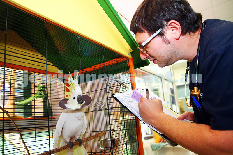 "11-2-15. Lort Smith Animal Hospital. Dr Tristan Rick checking ""Cocky"" the cockatoo's recovering from surgery.  Photo: Peter Haskin"