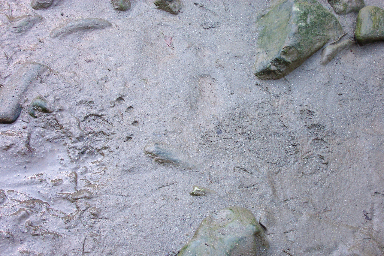 These are grizzly tracks--only a few hours old. Nothing like being at the bottom of the food chain to restore your humility.