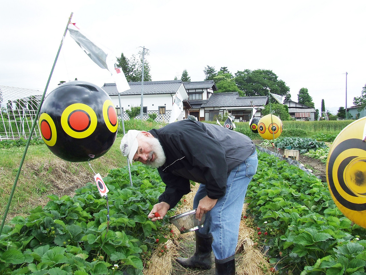 "Strawberry Fields: While teaching a workshop in the Nagano prefecture, I was invited to pick wonderful, organic strawberries at a local farm. I'm surrounded by ""scare-eye"" balloons. Birds are kept at bay because they perceive the bright spots as the eyes of predators."