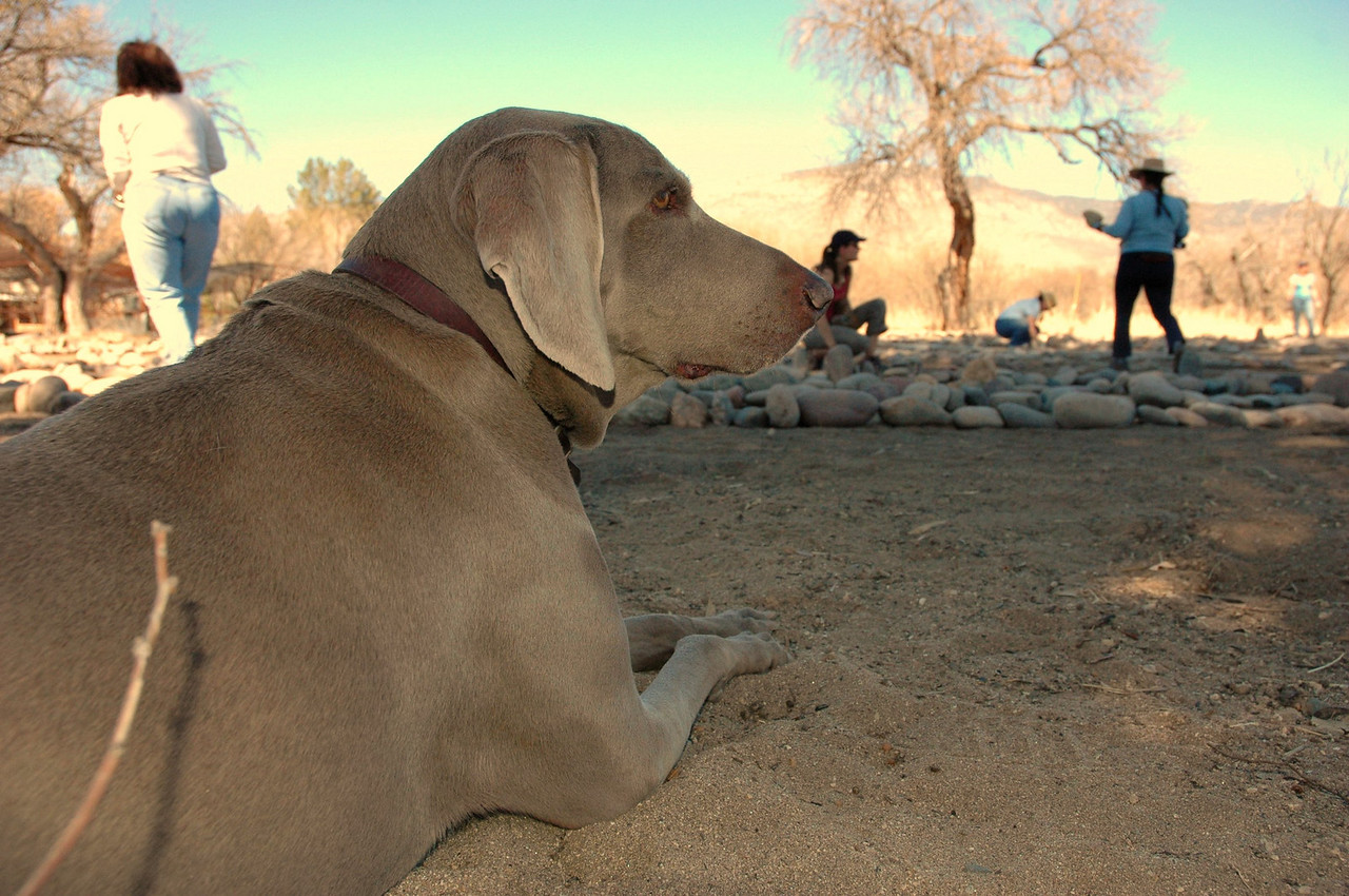 Greta, a Weimaraner who belongs to friends of Dr. Weil, contemplates the feverish construction activity just before falling asleep.