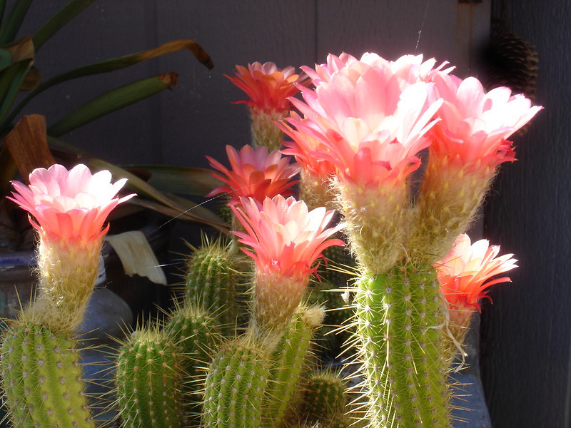 Cactus blooms are always a treat to see!
