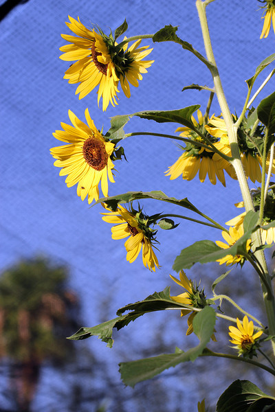 Sunflowers at the Hacienda del Sol