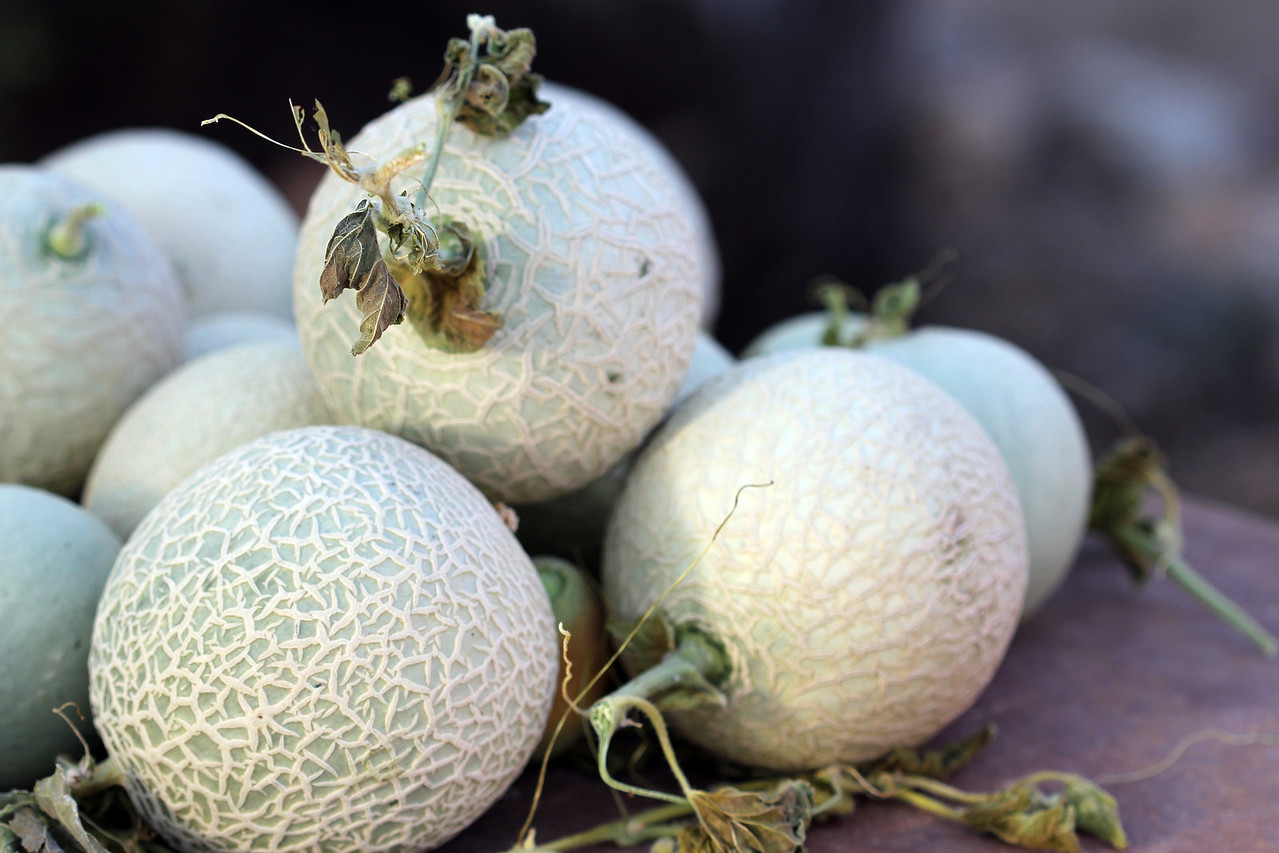 Organic cantaloupes grown at the Hacienda del Sol in Tucson, Arizona
