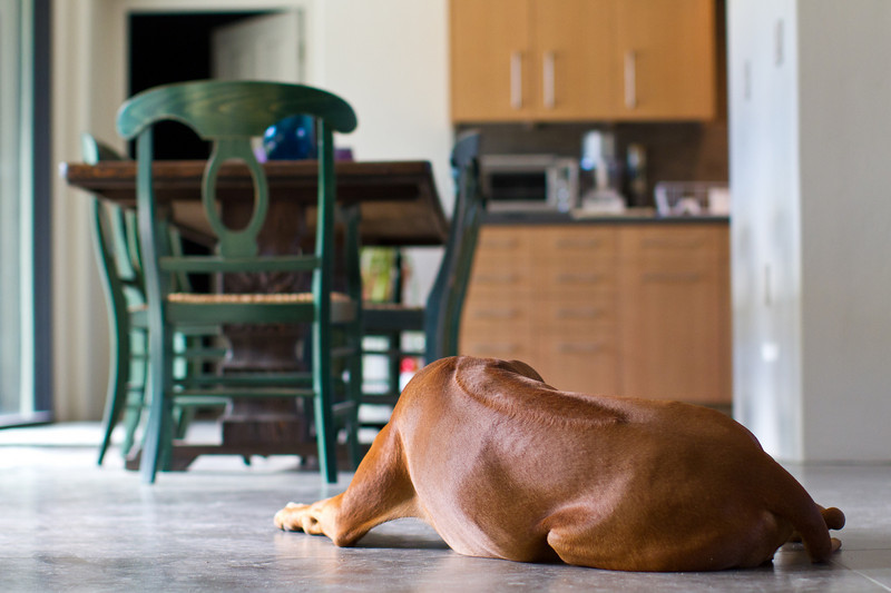 They're called Rhodesian Ridgebacks for a reason! Ajax's is quite prominent here.