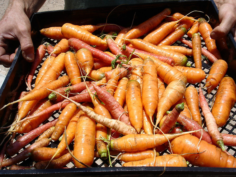 I like to grow carrots in many colors.