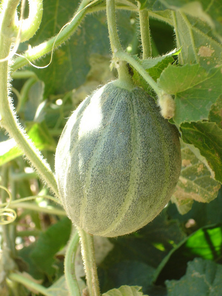 This green cantaloupe needs about another month.