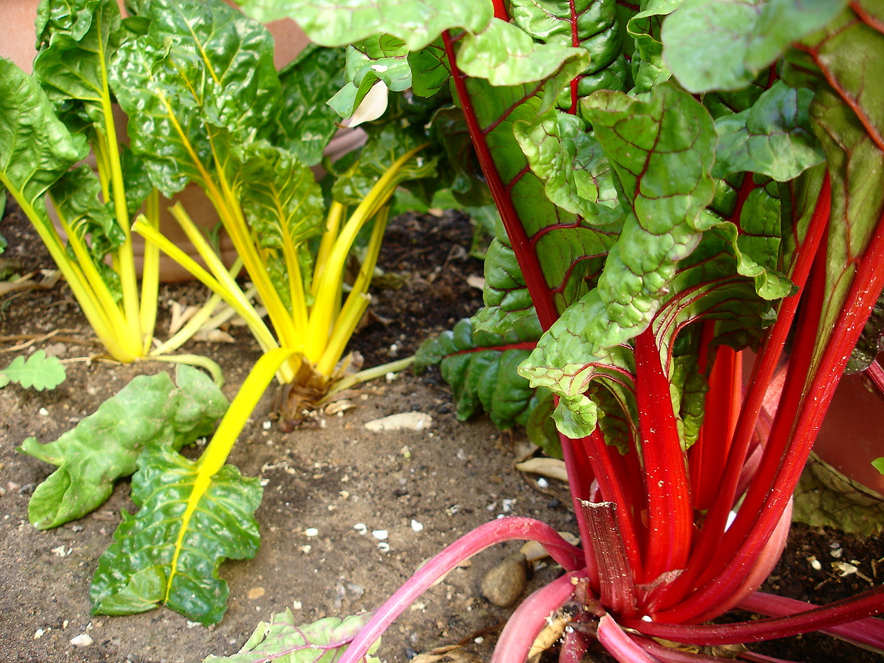 Chard is a wonderful vegetable for beginning gardeners; very easy to grow.