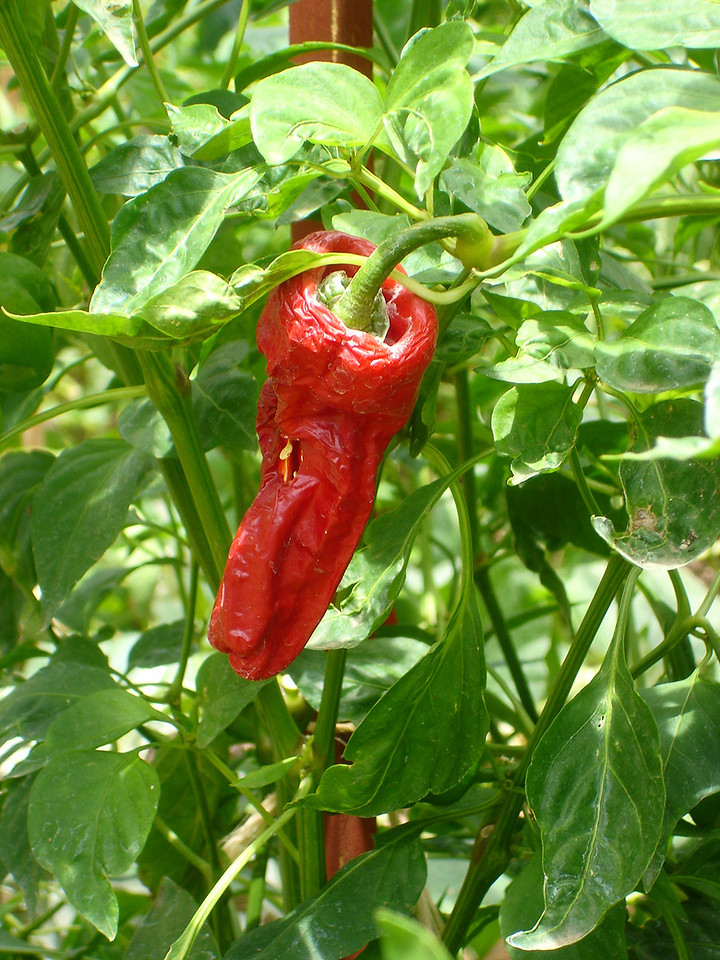 A sweet red pepper, drying on the vine.
