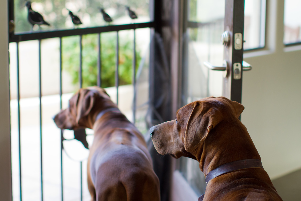 My two Rhoedsian Ridgebacks, Asha and Ajax, dutifully waiting for me to get home.