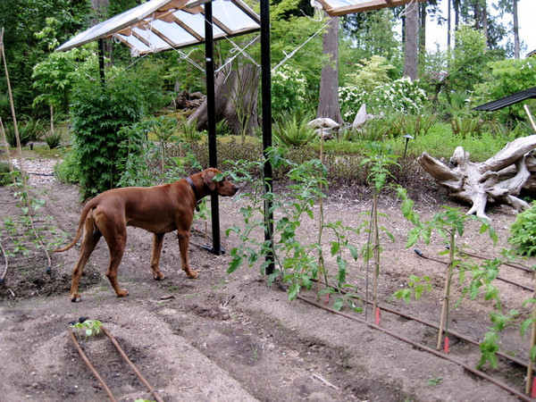 Ridgebacks Are Great Gardeners