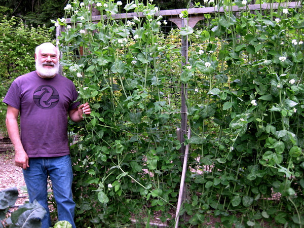 These snow peas climbing the trellis will round out many healthy meals this summer. Both the peas and the tender tips of the vines are edible.