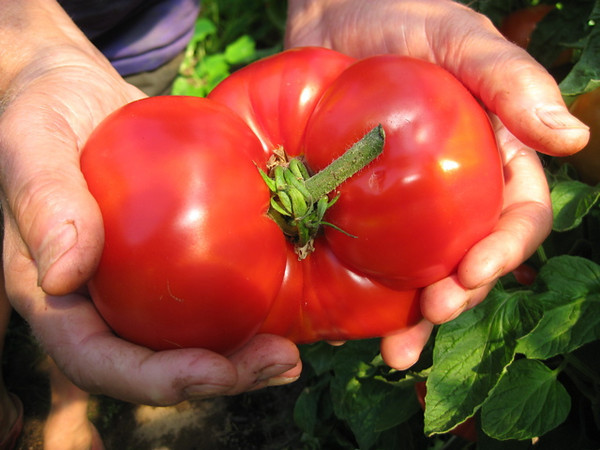 "Big tomato. Though I can't promise double-handful fruit like this, here are tips on <a href=""http://www.drweil.com/drw/u/ART02023/tomatoes.html""> tomato cultivation</a>."