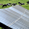Solar Cows, scene at Shaw Farm of huge solar panels and a herd of cows. SUN/ David H. Brow