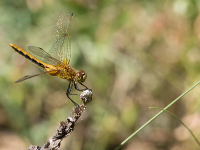 Cherry-Faced Meadowhawk - Sympetrum Interum (F)