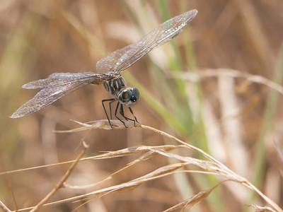 Blue Dasher - Pachydiplax longipennis (F)