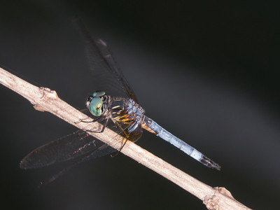 Blue Dasher - Pachydiplax longipennis (M - Eastern pattern)