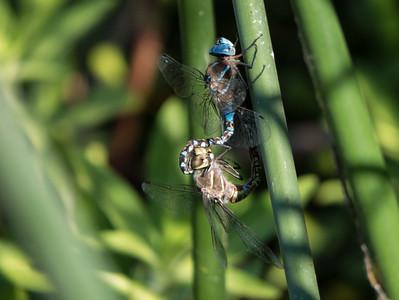 Blue Eyed Darner (M & F) - Aeshna multicolor