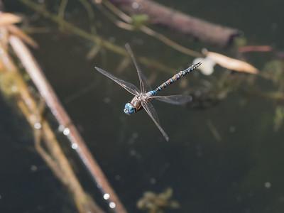 Blue Eyed Darner (M) -  Rhionaeschna multicolor