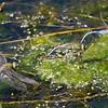 Green Darner - Anax junius - (M & F)